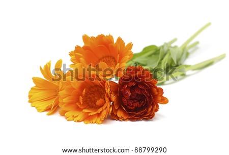 Calendula flowers isolated on white background