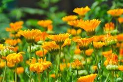 Calendula flowers. Marigold herbal plant. Beautiful flower in wild nature. Garden herb blossom. Calendula fresh bloom.