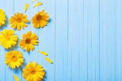 calendula flowers on blue wooden background