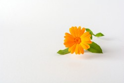 Calendula. Flowers with leaves isolated on white.