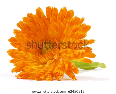 calendula isolated on white