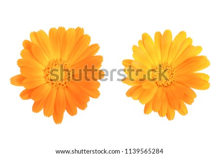 Calendula. Marigold flower isolated on white background