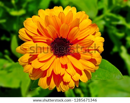 Calendula (Marigold flower) & leaf on green natural summer background. Calendula medicinal plant petals & herb leaves. Calendula officinalis flower field plant. Macro herbal tea calendula plant flower
