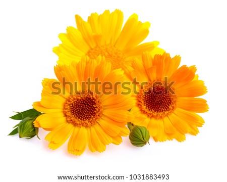 Calendula. Marigold flower with leaf isolated on white background