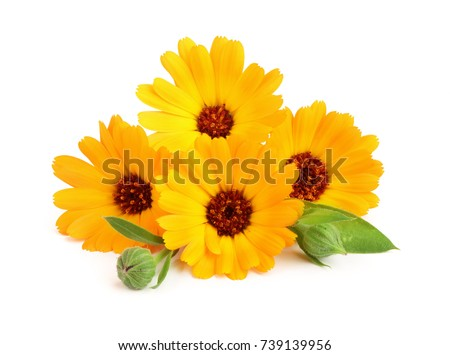 Calendula marigold flower with leaf isolated on white background marigold flower with leaf isolated on white background mightylinksfo