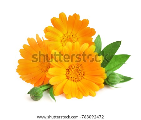 Calendula. Marigold flower with leaf isolated on white background