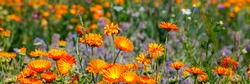 Calendula orange Flowers in summer meadow. Banner. Environmental German project for saving bee and insect. Planted glade with marigold flowers.