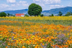 Calendula orange Flowers in summer meadow. Environmental German project for saving bee and insect. Planted glade with yellow marigold flowers.