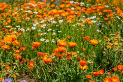 Calendula orange Flowers in summer meadow. Environmental German project for saving bee and insect. Planted glade with marigold flowers.