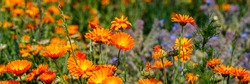 Calendula orange Flowers in summer meadow. Environmental German project for saving bee and insect. Planted glade with marigold flowers. Banner.