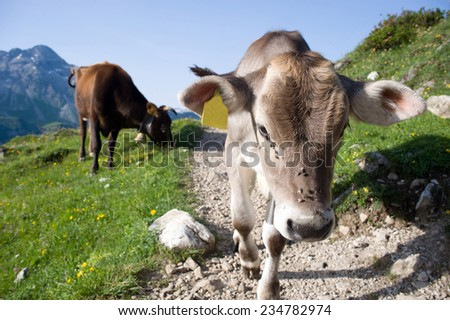 Calf and cow