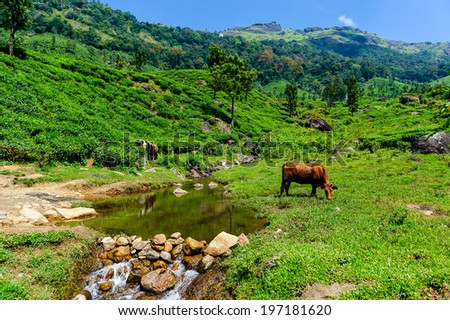 Calf and cow in a agriculture field