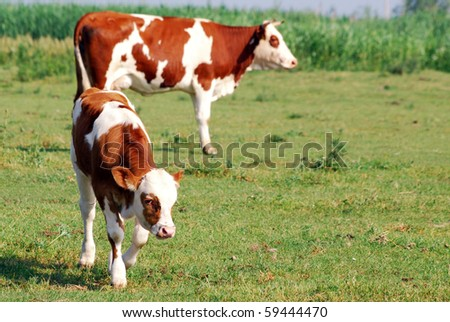 calf and cow on pasture