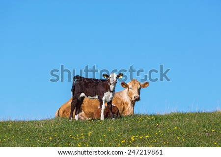 Calf and cow resting in the field