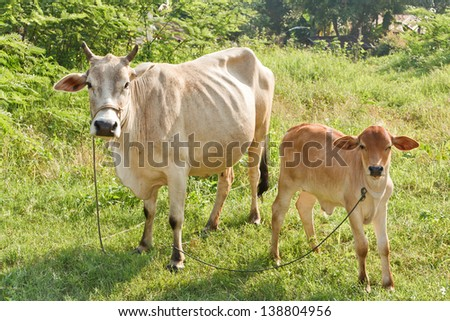 Calf and cow standing on a meadow