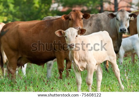 calf and cows