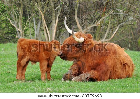 calf and mum of highland cattle
