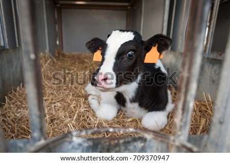 calf born from a few weeks of fassona breed