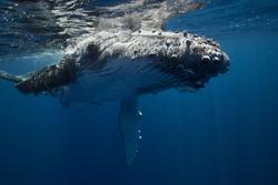 Calf humpback whales