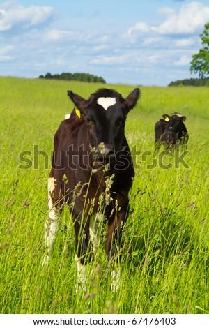 calf in a meadow