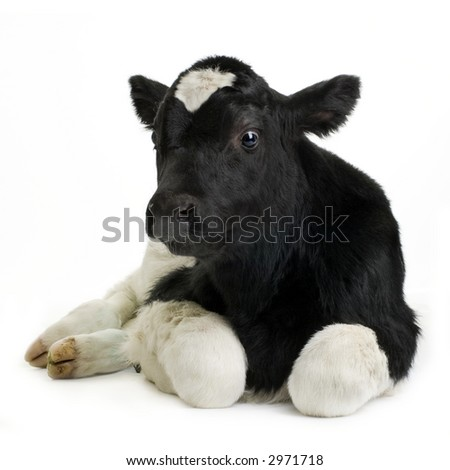 calf in front of a white background