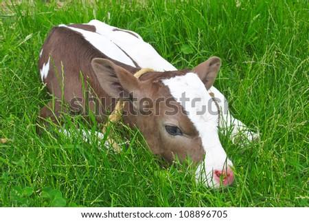 Calf in spring lying on green grass.