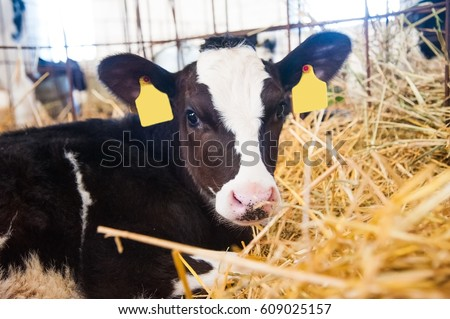 Calf in the cowshed in dairy farm