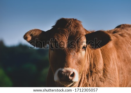 calf in the meadow in vosges