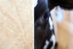 Calf in the slaughterhouse, look of calf from behind the fence. Animal protection
