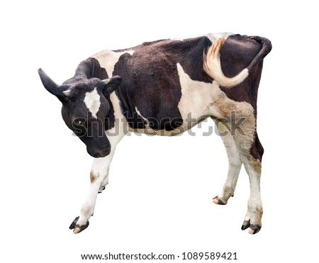Calf isolated on white. Beautiful black and white spotted calf isolated on white. Funny  little cow full length close up. Farm animals. The calf turned one month old