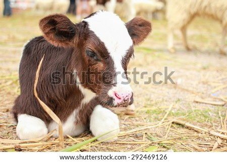 Calf lying on staw