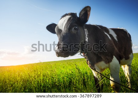 Calf on the green sunny meadow