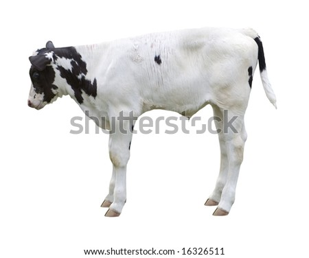 calf on white background - stock photo