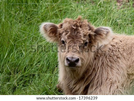 calf sits in grass on a hot day