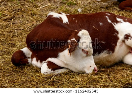 calf sleeps on straw of alpine pasture, shot on a bright summer day at Gressoney Saint Jean,  Lys valley, Aosta, Italy #1162402543