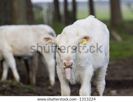 Calf sticking out the tongue - stock photo