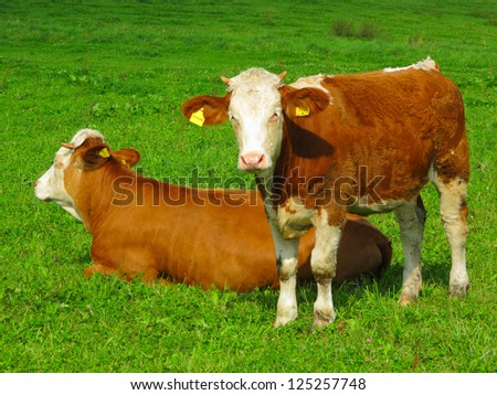 Calf with mother on meadow.