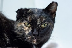 Calico cat face, one ear deformed (cauliflower ear), looking into the camera