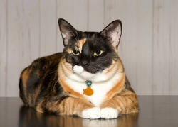 Calico cat laying on a reflective table looking towards viewer. Calico cats are domestic cats with a spotted or particolored coat that is predominantly white, with patches of two other colors.