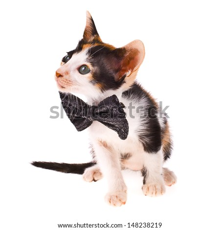 Calico cat - little kitty with a black bow at the neck isolated on white background