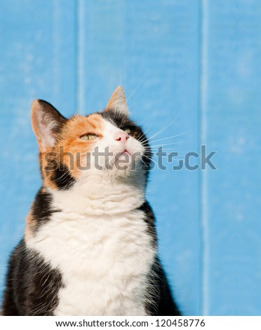 Calico cat looking up above her into copy space - ready for your message