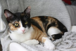 Calico cat lounging in chair