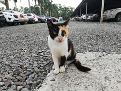 Calico cat on a parking lot
