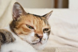 Calico cat or Tortoiseshell cat laying down on the sofa.  Closeup cat face. Copy space is on the right side.  Selective focus.