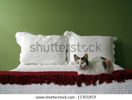 Calico cat poised at the foot of bed, domestic cat, domestic home.
