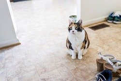 Calico cat sitting by shoes looking up begging for food with green eyes by kitchen room on tiled floor