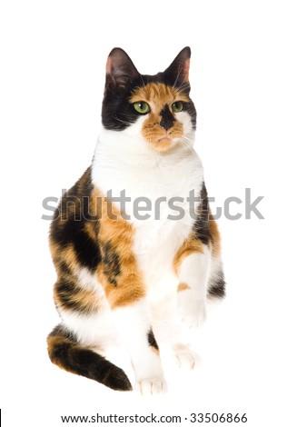 Calico cat sitting on white background