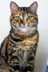 Calico cat sitting up, looking straight into the camera, white background