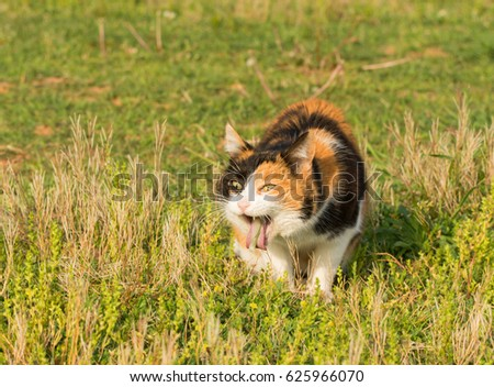 Calico cat vomiting after eating grass, likely trying to get rid of hair balls