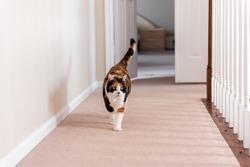 Calico cat walking on carpet floor in home room by railing stairs hall hallway of house by bedrooms